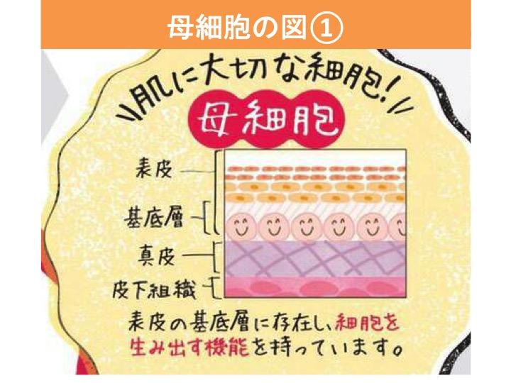 肌の大切な母細胞